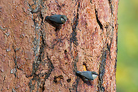 Pygmy Nuthatch (Sitta pygmaea) on side of ponderosa pine tree.  Western U.S., fall.