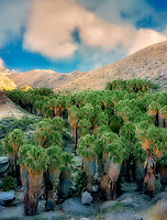 Palm Canyon. Indian Canyons. Coachella Valley. Palm Springs, California