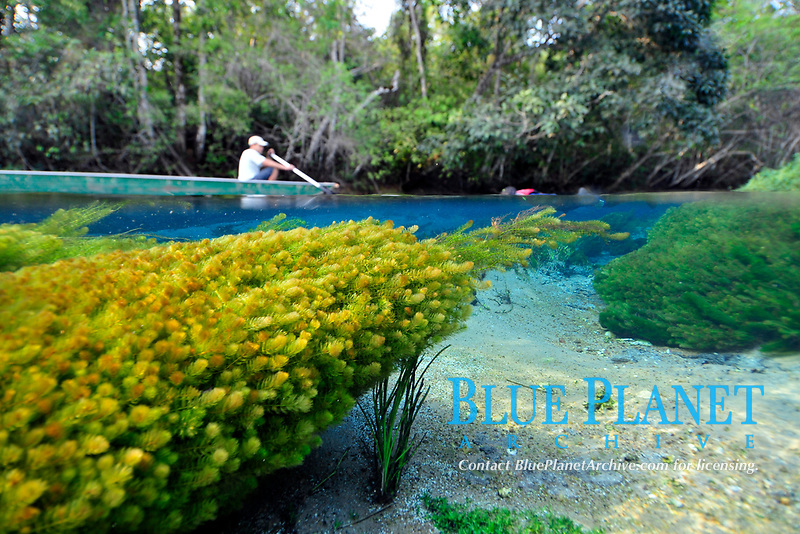 Man in a boat and Underwater vegetation, predominantly stonewort algae, Chara rusbyana, at Sucuri River, Bonito, Mato Grosso do Sul, Brazil
