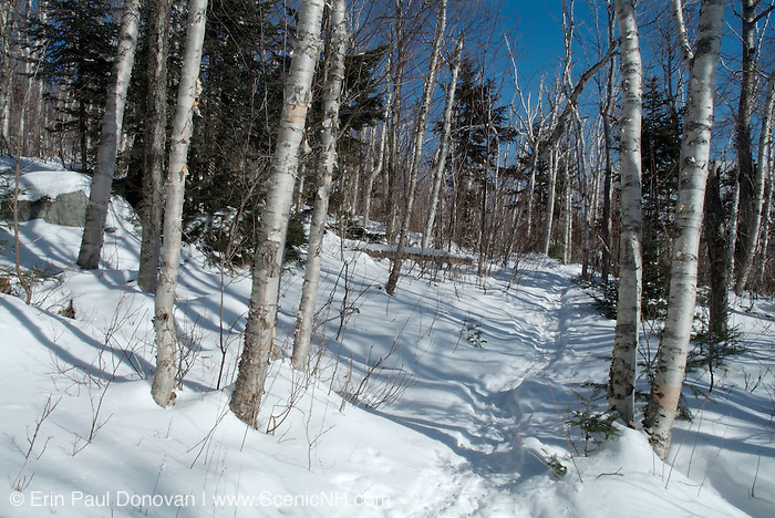Birch tree forest along the Rocky Branch Trail in the White Mountain National Forest of New Hampshire USA