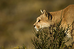 Mountain Lion (Puma concolor) female hunting, Torres del Paine National Park, Patagonia, Chile