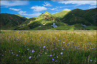 A TIbetan barley field with wild blue aster flowers.