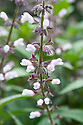 Waverly sage (Salvia 'Waverly'), early August.