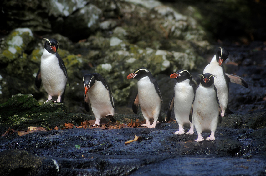 Snares Islands Penguins takin gin the sun on Snares Island