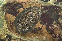 Haarbutt, Fleckenbutt, Müllers Zwergbutt, Butt, Plattfisch, perfekt getarnt an Algenbewachsenem Fels, Zeugopterus punctatus, topknot