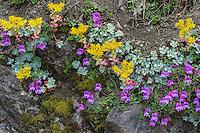 Spearleaf Stonecrop or Lanceleaf Stonecrop or Lance-leaved Stonecrop (Sedum lanceolatum) growing with Penstemon on rocky cliff.  Pacific Northwest.