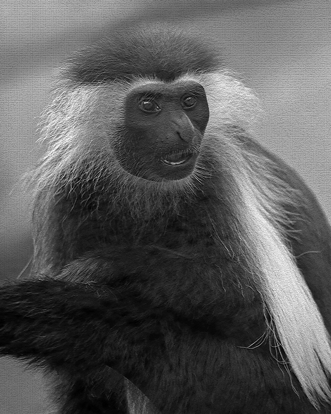 The most arresting physical characteristic of the Angola Colobus Monkey is its black and white coloration. Jet-black shiny hair is complemented by long silky white layers of fur on their backs and tails.
