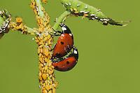 Seven-spotted Ladybug (Coccinella septempunctata), pair mating and eating Aphids (Aphidoidea), Sinton, Corpus Christi, Coastal Bend, Texas, USA