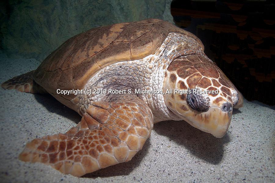 Loggerhead Sea Turtle resting on coral sand bottom full body view
