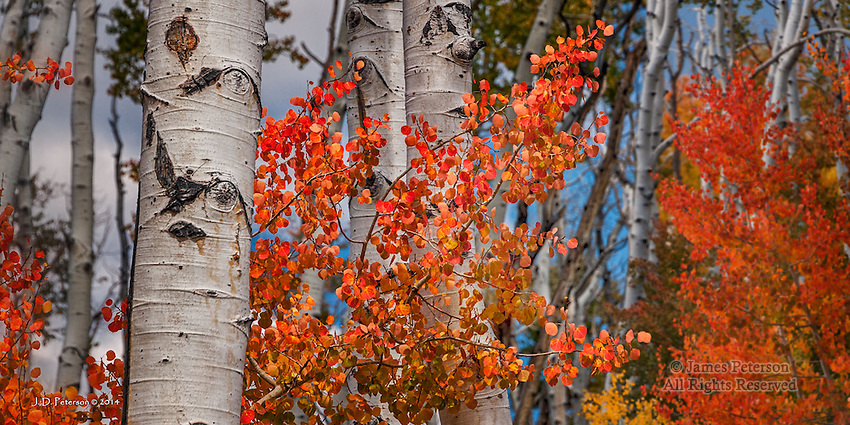 Red Aspens on Boulder Mountain, Utah