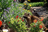 Raccoon, Procyon lotor, smells flowers in  blooming summer garden as it looks for an afternoon snack, Missouri USA