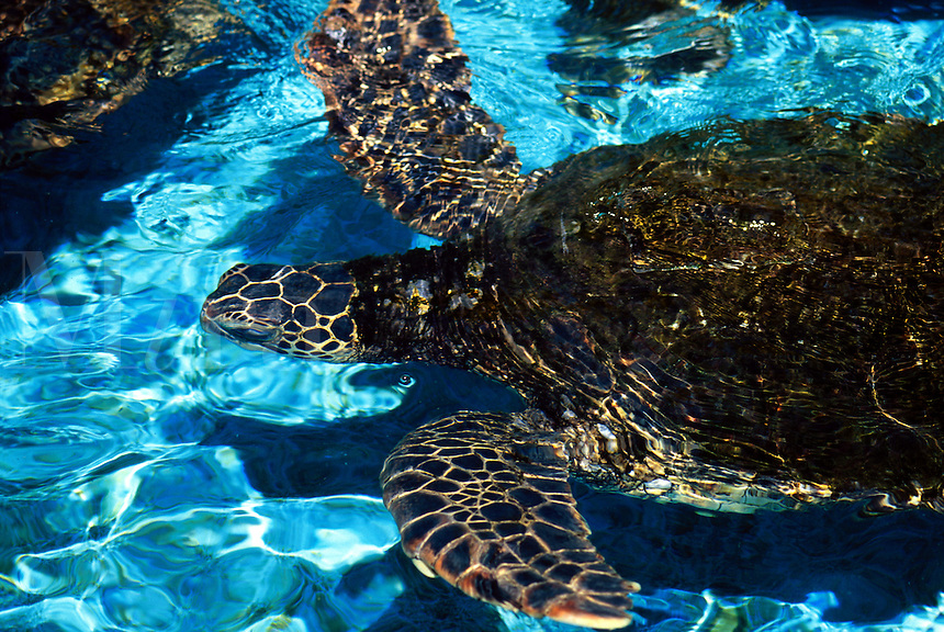 Green sea turtles, Chelonia mydas, come into the shallows to feed on algae and seaweed. Hawaii.