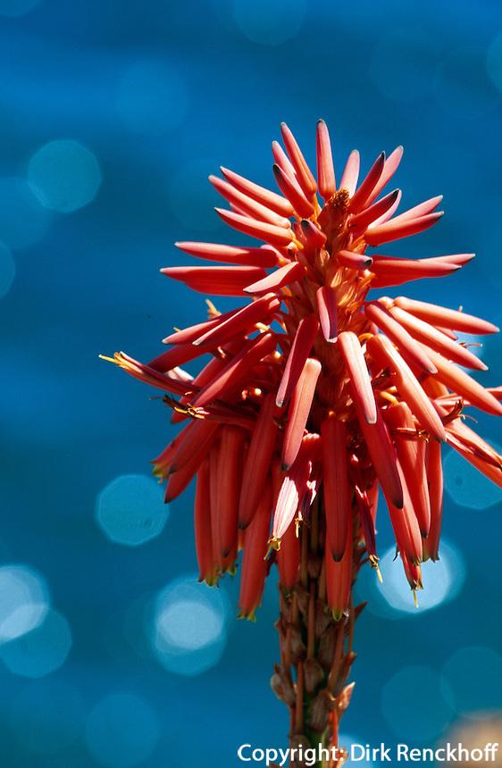 Portugal, Madeira, Blume im Jardim Botanico (botanischer Garten) bei Funchal