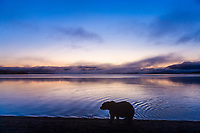 Brown bear walks along the shores of Naknek lake at dawn, Kejulik mountains in the distance, Katmai National Park, Alaska.