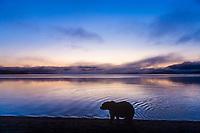 Brown bear walks along the shores of Naknek lake at dawn, Kejulik mountains in the distance, Katmai National Park, Alaska.