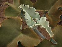 BOGOTÁ-COLOMBIA-15-01-2103. Planta de territorios aridos cereus echinopsis. Plant arid territories cereus echinopsis. (Photo:VizzorImage)