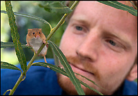 BNPS.co.uk (01202 558833)<br /> Pic: PhilYeomans/BNPS<br /> <br /> Harvest Mice - Ecologist Peter Cooper is breeding several species of native wild animals to help populate Derek Gow's 'stone age' park.<br /> <br /> Back to the future - A farmer is returning his land back to the Stone Age and reintroducing species of wild animals once extinct in the UK - after becoming disenchanted with 'unsustainable' modern farming techniques.<br /> <br /> Derek Gow is using a herd of Nazi-engineered cows to spearhead his radical rewilding scheme that will create the farming version of Jurassic Park.<br /> <br /> The Heck cows that died out in the Iron Age were re-established in Nazi Germany in the 1930s as part of a genetics programme to create a breed of super cattle.<br /> <br /> Joining them on Mr Gow's 115 acre ring-fenced plot of upland in Devon will be rabbit-eating wildcats, wild boar and beavers.