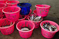 Buckets full with caught fish in the harbour of Ban Nam Khem, Thailand, Southeast Asia. The fishes were caught in the Andaman Sea. Ban Nam Khem, often spelled Ban Nam Kem, is a small, southern-coastal, fishing village approximately 25 kilometers north of Khao Lak, a popular tourist vacation spot.