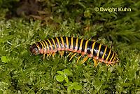 1Y15-503z Millipede, Apheloria virginiensis corrugata,  SW Virginia