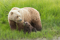 Alaska. A mother bear and her cub eat sedges in the tidal meadow.