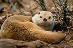River Otter, Sonoran Desert, Arizona