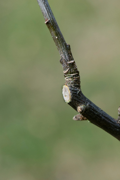 Pruning a lateral back to a younger sub-lateral or sideshoot, one that is strong and healthy, and already growing in the right direction.