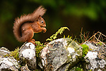 Adult red squirrel (Sciurus vulgaris) foraging on dry stone wall. Aigas Field Centre, Scottish Highlands. Scotland. October. (baited).