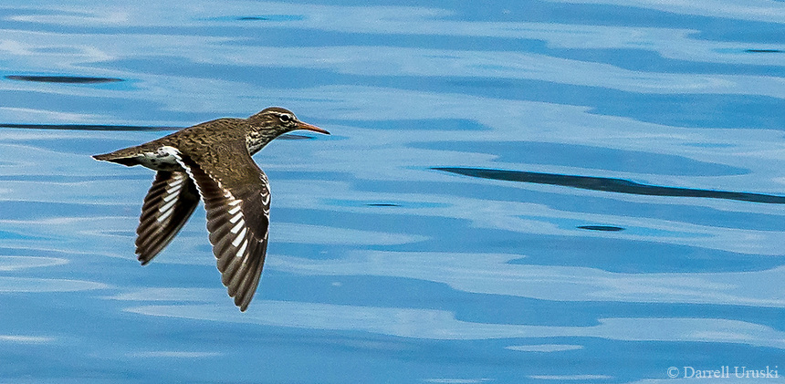 Spotted Sandpiper, a small wading bird that nests near fresh water. These birds fly very low, and very fast flight with 'stiff' wingbeats. If you see one perched on the shoreline you'll probably notice it bob its rear end up and down.