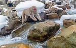 Japan, Honshu, Jigokudani Monkey Park, Japanese macaque (Macaca fuscata)