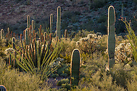 "Wild Cactus Garden--Ocotillo, saguaro, cholla and organ pipe cactus along the scenic ""Ajo Mountain Drive"" in Organ Pipe Cactus National Monument, Arizona."
