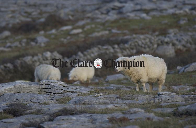 Sheep graze on the limestone landscape of the Burren near Fanore. Photograph by John Kelly