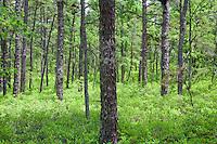 Pine Barren Forest, New Jersey