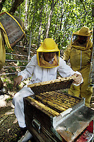 Switzerland. Canton Ticino. Castello di Vico Morcote. Alberto Bianchi ( dressed in white) is a beekeeper and an organic farmer (with the label Bio Suisse). He stands in the woods (Robinia pseudoacacia) with his assistants Joao (R) from Portugal and a friend from Italy. The men are checking the honeycombs in the hives, the health of the bees and the quantity of honey. Beekeeping (or apiculture) is the maintenance of honey bee colonies, commonly in hives, by humans. A beekeeper (or apiarist) keeps bees in order to collect honey and other products of the hive (including beeswax, propolis, pollen, and royal jelly). Robinia pseudoacacia, commonly known as the Black Locust, is a tree in the subfamily Faboideae of the pea family Fabaceae. A less frequently used common name is False Acacia, which is a literal translation of the specific epithet. 30.05.12 © 2012 Didier Ruef
