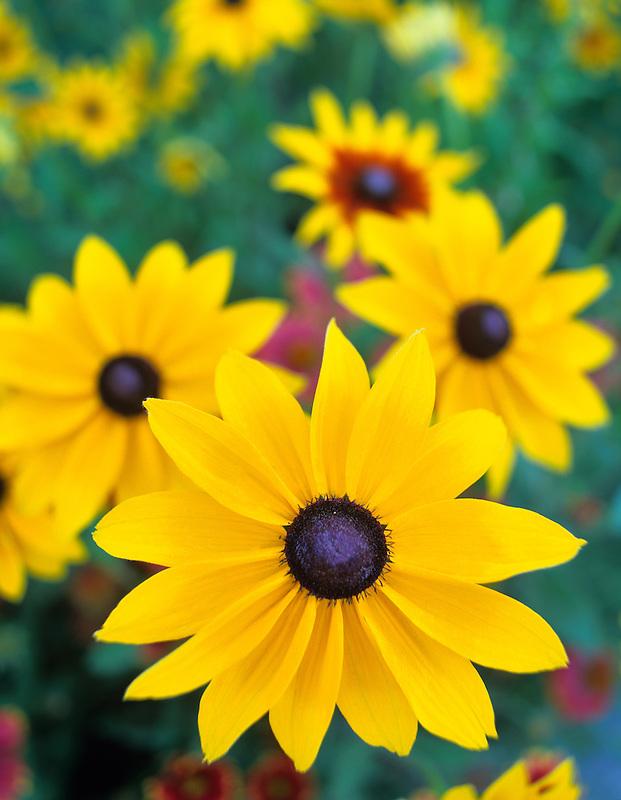 Black Eyed Susan flowers in garden in Halfway, Oregon