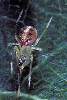 Happyface spider relative Ogasawara Islands