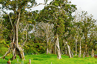 A Hawaiian ranch at a 4,000-ft. elevation in Volcano, Big Island, with 'ohia lehua trees, native Hawaiian geese (or nene) and Hawaiian hawks (or 'io). The ranch borders a rainforest and Hawai'i Volcanoes National Park.