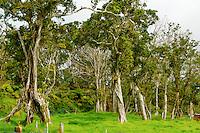 A Hawaiian ranch at a 4,000-ft. elevation in Volcano, Big Island, with 'ohia lehua trees, native Hawaiian geese (or nene) and Hawaiian hawks (or 'io). The ranch borders a rainforest and Hawai'i Volcanoes National Park.