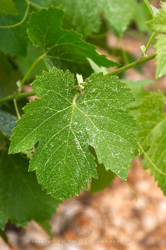 Domaine l'Aigueliere. Montpeyroux. Languedoc. Vine leaves. Syrah grape vine variety. France. Europe. Vineyard.