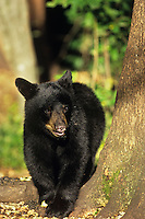 Black Bear cub.  Great Lakes Region.  Fall.