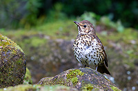 Song Thrush (Turdus philomelos clarkei), in Queens Park, Invercargill, Southland, New Zealand.