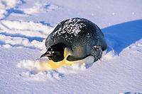 emperor penguin, Aptenodytes forsteri, in snow, Cape Washington, Antarctica