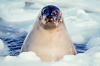 female adult harp seal, Pagophilus groenlandica, at breathing hole, Magdalen Islands, Quebec, Canada, Atlantic Ocean