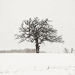 WINTER OAK -- An oak tree braves a heavy snowstorm in a farm field near West Bend, Wisconsin, USA.  #michaelknapstein #midwest #midwestmemoir #blackandwhite #B&W #monochrome #instblackandwhite #blackandwhiteart #flair_bw #blackandwhite_perfection #motherfstop #wisconsin #blackandwhiteisworththefight #bnw_captures #bwphotography #myfeatureshoot  #fineartphotography #americanmidwest #squaremag #lensculture #mifa #moscowfotoawards #moscowinternationalfotoawards #rps #royalphotographicsociety #CriticalMass #CriticalMassTop200 #photolucida #contemporaryphotography <br /> @thec4fap #fineartphotography #portfolioshowcase11