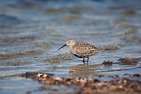 Alpen-Strandläufer, Alpenstrandläufer, im Übergangskleid, Strandläufer, Calidris alpina, dunlin, Bécasseau variable