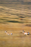 Pronghorn Antelope (Antiloapra americana) buck chasing a doe during the fall rut.  Western U.S., fall.