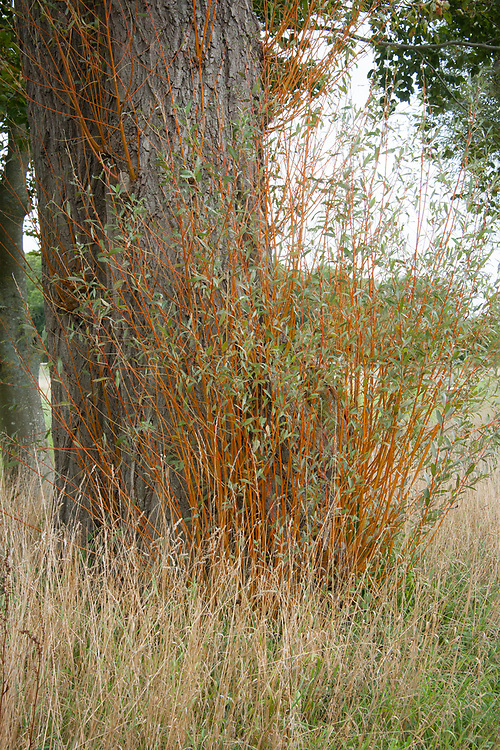 New, orange stems of White willow (Salix alba), early September.