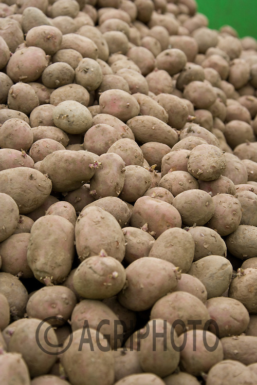 1.4.2011 Seed Potatoes.©Tim Scrivener 07850 303986.