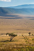 Tanzania. Ngorongoro Crater.  Acacia Tree with Birds' Nests, Crater Floor and Opposite Rim  in Distance.