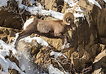 Bighorn Sheep ram leaps across the rocks of the canyon