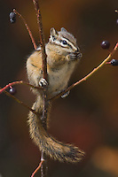 Least Chipmunk, Tamias minimus, adult eating berries, Grand Teton NP,Wyoming, USA
